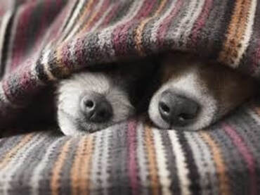 Cold dogs hiding under blankets